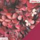 Kočárkovina, Purpurové listy, kombinace s koženkou SOFT 79 tmavě růžovou